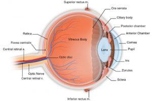 Lens position in the eye